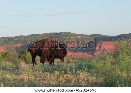Texas Bison in canyon home