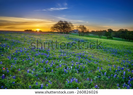 Texas bluebonnet spring wildflower field at sunrise - stock photo
