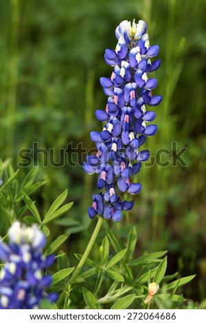 bluebonnet flower stock images, royaltyfree images  vectors, Beautiful flower