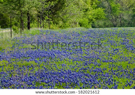 Texas Bluebonnets blooming in spring - stock photo