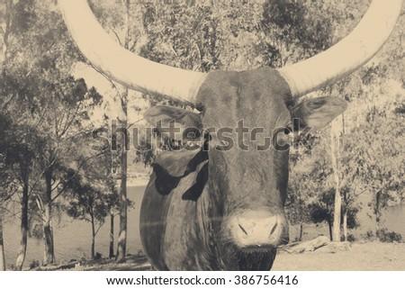Texas bull - stock photo