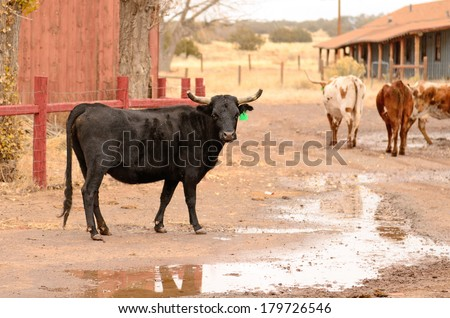 Texas cattle roaming the grounds of a abandoned pancake restaurant in northeastern Arizona - stock photo