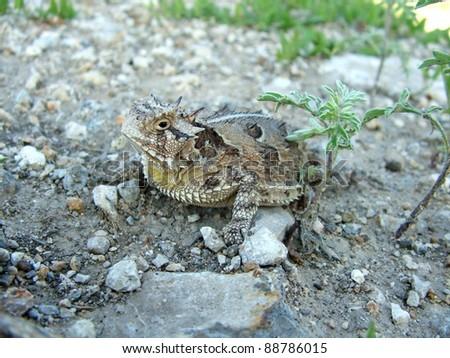 Texas Horned Lizard, Phyrnosoma cornutum - stock photo