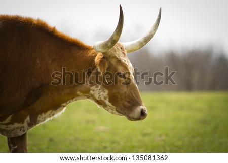Texas Long Horn grazing in a field - stock photo