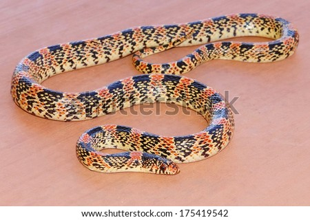 Texas Long-nosed Snake, Rhinocheilus lecontei tesselatus, a brightly colored red, black and white snake - stock photo