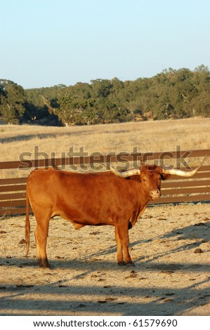 Texas Longhorn - stock photo