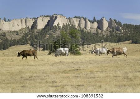 Texas Longhorn cattle grazing on land adjoining historic Fort Robinson, Nebraska - stock photo