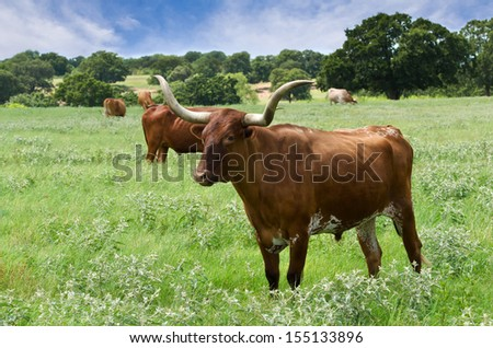 Texas longhorn cattle grazing on the meadow - stock photo