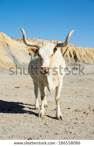 Texas longhorn cow breed with horns sawed with his picks his nose - stock photo