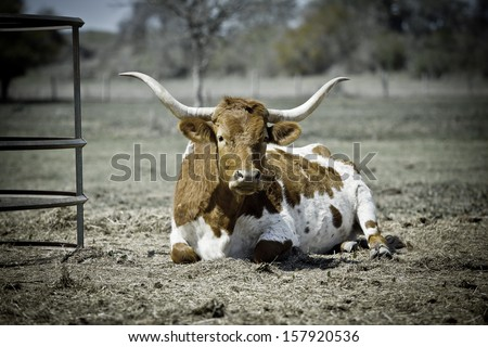 Texas Longhorn cow laying down and resting next to hay pin (white and brown markings) - stock photo