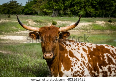 Texas Longhorn Head Shot - stock photo