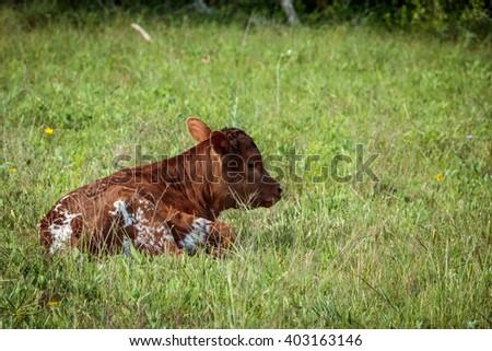 Texas Longhorn Newborn Calf - stock photo