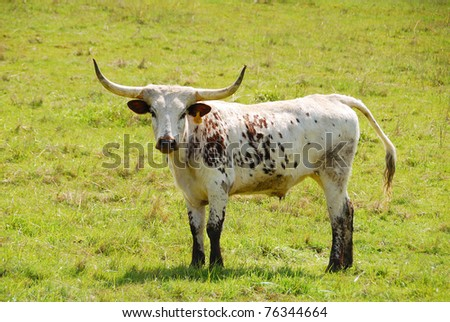 Texas Longhorn steers in a spring field in the Umpqua Valley near Roseburg Oregon - stock photo