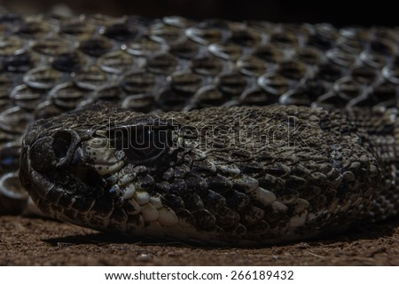 Texas rattle snake cotalus Atrox close up head and scales - stock photo