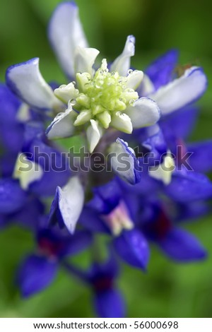 Texas State Flower, The Bluebonnet, Macro Vertical As Seen From Above - stock photo