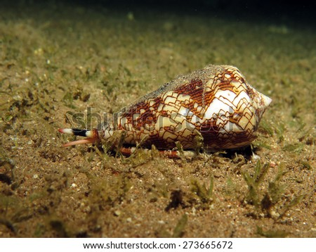 Textile cone mollusk on sand at night - stock photo