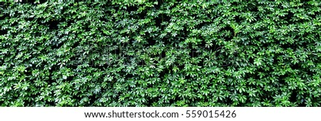 Texture details of natural green leaves plants growing on wall for background and design