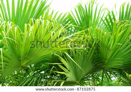Texture green palm leaves lush at park - stock photo