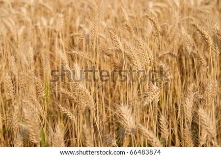 Texture of a golden wheta field - stock photo