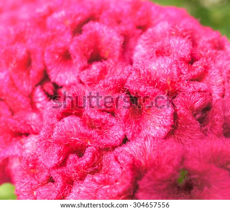 Texture of a Hot Pink Chinese Wool Flower - stock photo