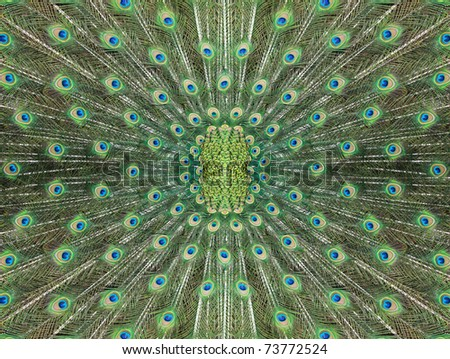texture of beautiful peacock tail spread circle - stock photo