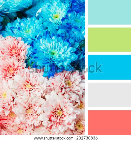 texture of blue and pink color chrysanthemum. Shallow depth of field. color palette swatches - stock photo