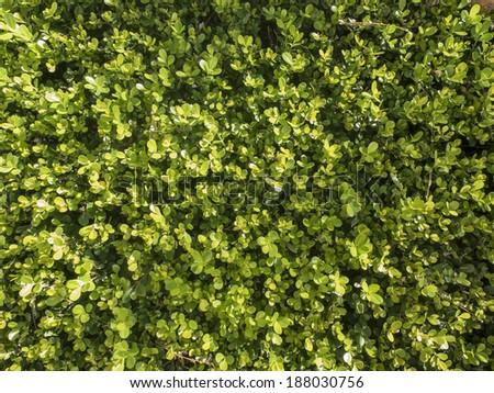 Texture of buxus, shrub. - stock photo