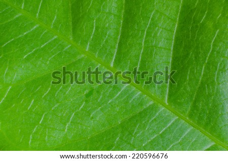texture of leaf for background.