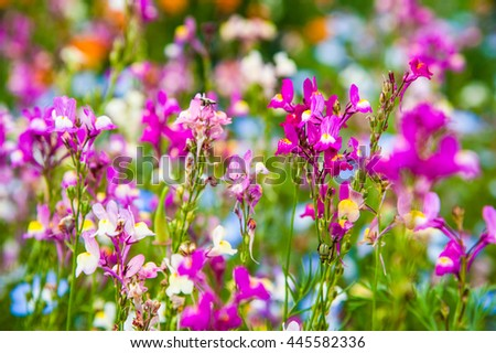 Texture of little colorful flowers with Linaria on summer in park,Tokyo, Japan.