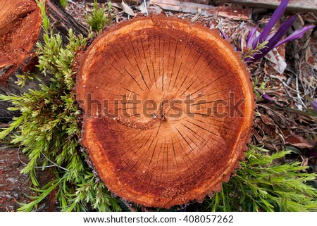 Texture of old tree stump close up. Wooden background. - stock photo