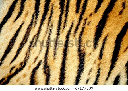 texture of real tiger skin ( fur ) - stock photo