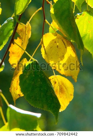 Texture, pattern, background. autumn. Golden autumn. The first yellow leaves photographed backlit