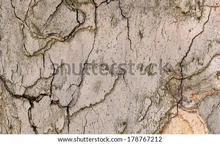 Textured background of tree bark Sycamore, closeup - stock photo