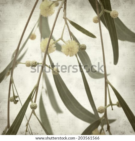 textured old paper background with acacia flowers