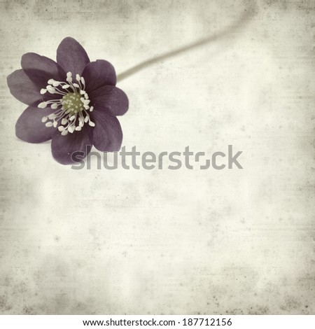 textured old paper background with anemone hepatica