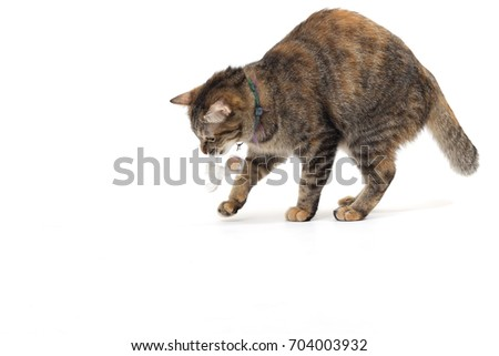 Tha tabby cat on the white background.