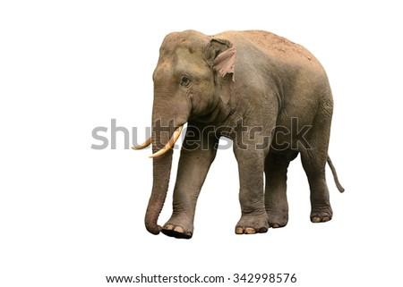 Thai Asia elephant isolated on white background - stock photo