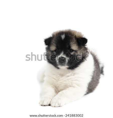 Thai Bang Kaew Puppy on white.