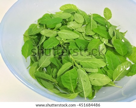 Thai basil leaf after nip off from trunk then cleaning in water, fresh and healthy, smell good, ready to make great Thai food like Rice topped with stir-fried chicken and basil, Thai herb - stock photo