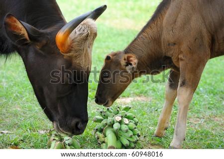 Thai bison - stock photo