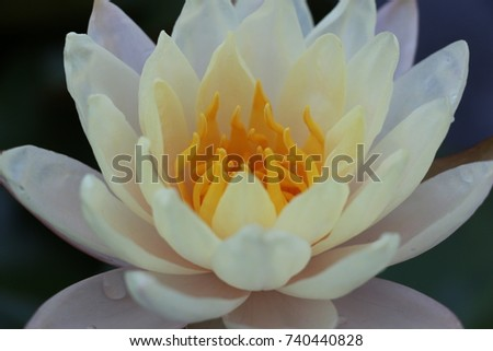 Thai buddhism uses lotus roots flowers stock photo royalty free thai buddhism uses lotus from the roots to the flowers to be a symbol of enlightenment mightylinksfo