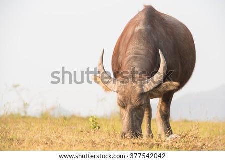 Thai buffalo selective focus - stock photo