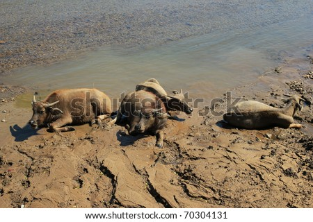 Thai buffaloes by the river - stock photo