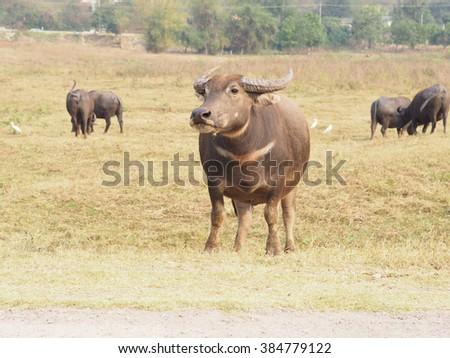 Thai buffalos at the field - stock photo