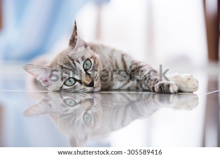 Thai cat in looking action with reflect.