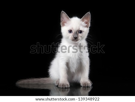 Thai cat on black background - stock photo
