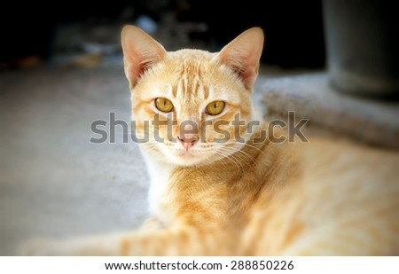 Thai cat roan color