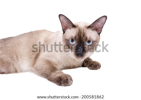 Thai cat , Siamese cat isolate on white background - stock photo