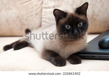 Thai cat with gray eyes - stock photo