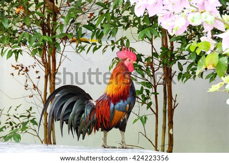 Thai chicken bantam in thai temple on morning time:Close up,select focus with shallow depth of field - stock photo